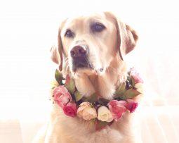 Labrador wearing wedding flower crown