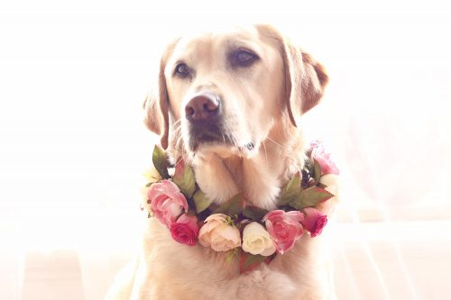 Labrador wearing wedding flower crown