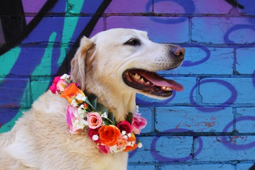 Dog wearing colourful flower crown